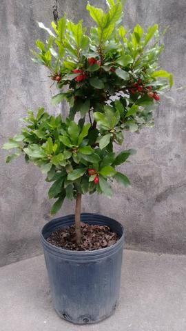 Planta do milagre (Fruta do Milagre) - Foto 5