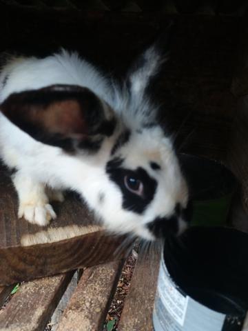 Vendo coelhos - Foto 5