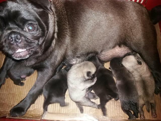 Belíssimos filhotes de Pug a venda. - Foto 2