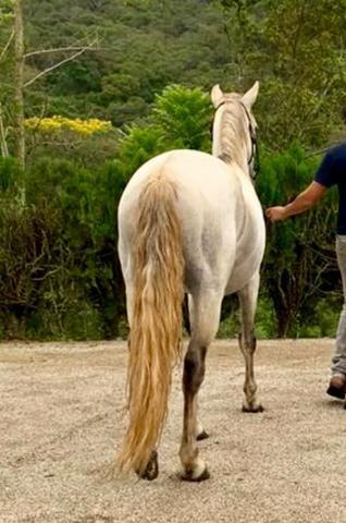 Mangalarga Marchador puro! Cavalo de presença, grande! Ideal para cavalgadas ou charrete! - Foto 3
