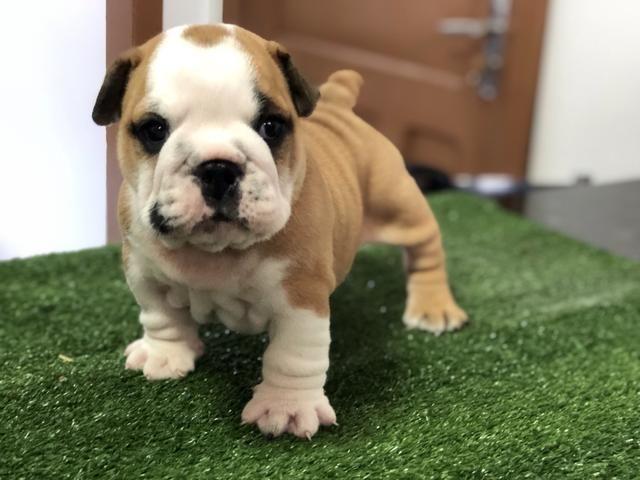 Bulldog Inglês filhotes fêmeas - Foto 3