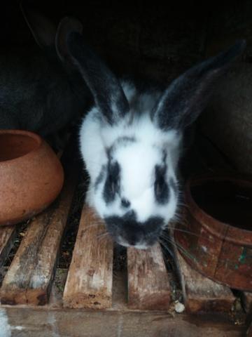 Vendo coelhos - Foto 2