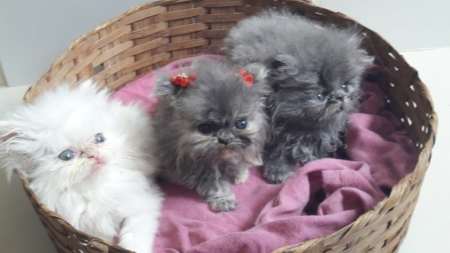 Gatinhos persas Himalaia disponíveis para venda!!!