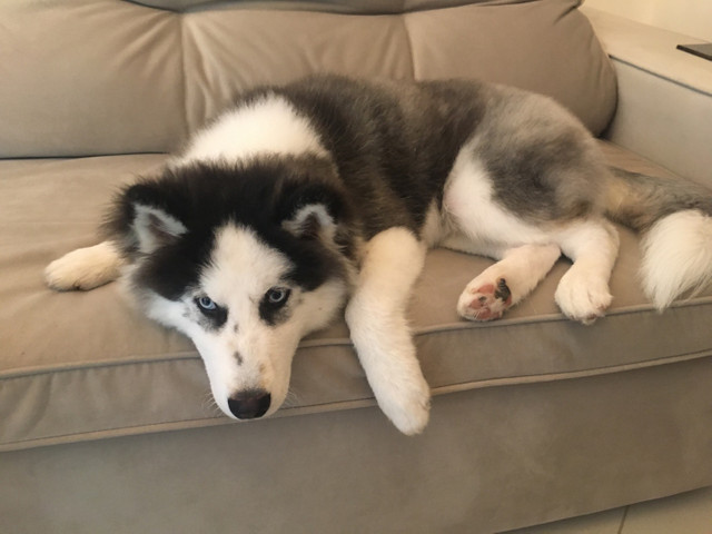Cachorro filhote Husky Siberiano