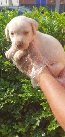 Labrador - Filhotes de Labrador em Oferta