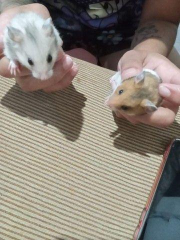 Vende se hamster