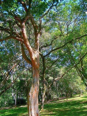 Pau-brasil ? Paubrasilia echinata (Vendo mudas) - Foto 3