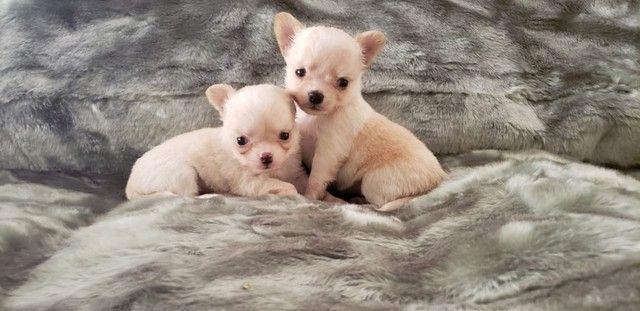 Chihuahua - Foto 6