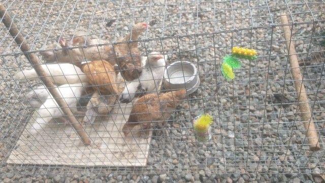 Galinhas filhotes - Foto 3