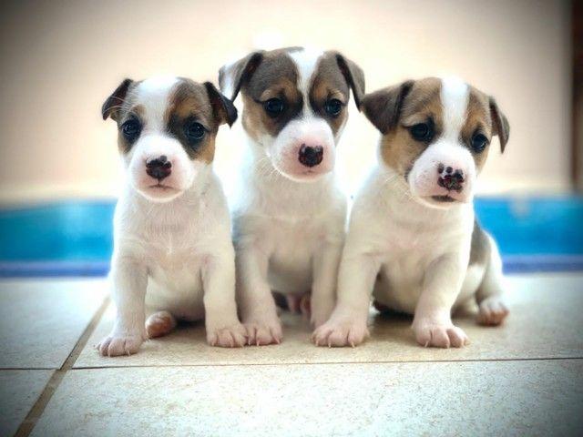 Impecáveis Jack Russel Terrier (Pais Pedigree CBKC) - Foto 2