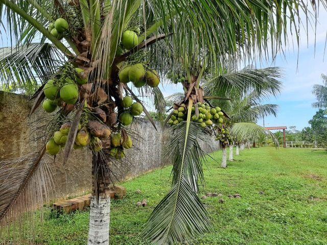 Mudas de coco Anão - Foto 3