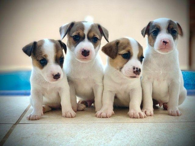 Impecáveis Jack Russel Terrier (Pais Pedigree CBKC)