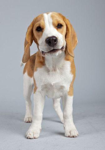 Beagle disponível  - Foto 4