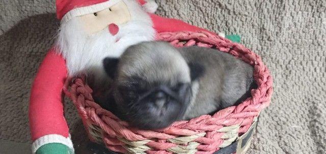 Pug micro filhote - Foto 3