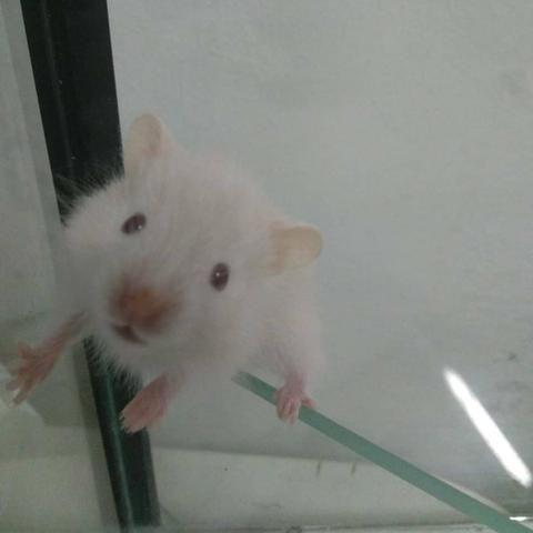 Hamster Sírio de pelúcia - Foto 3