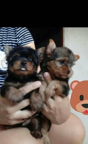 Filhotes de yorkshaire terrier - Foto 3
