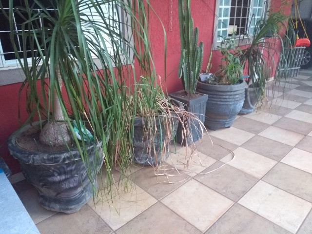 Vasos de cimeno com plantas