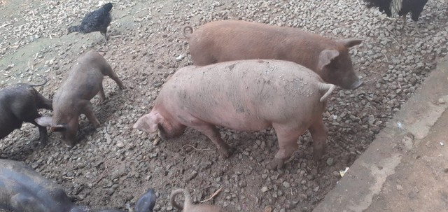 Porcos  - Foto 4