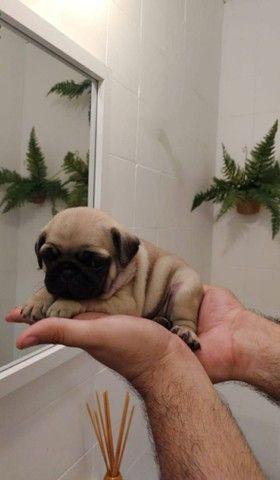 Filhotes de pugs