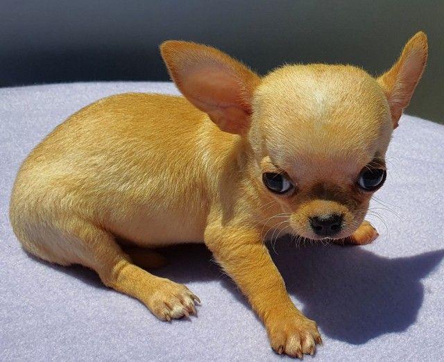 Canil Maschiossa.  Chihuahua.  Pedigree CBKC.  - Foto 3