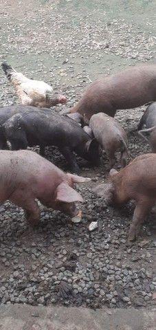 Porcos  - Foto 3