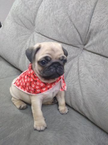 Pug com pedigree + Brindes (parcelamos sem juros)