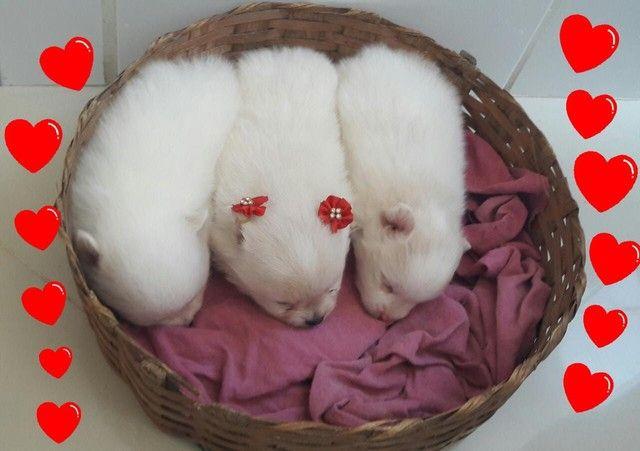Filhotes de lulu da Pomerânia disponíveis para reserva!!! - Foto 4