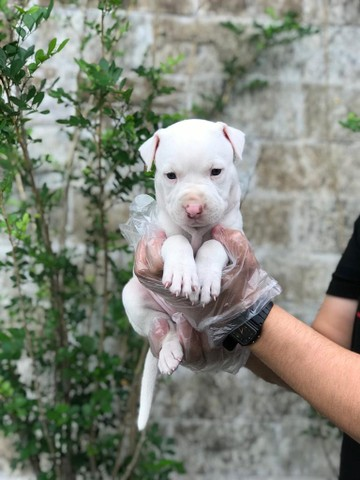 Pitbull - Filhotes de Pitbull em Oferta