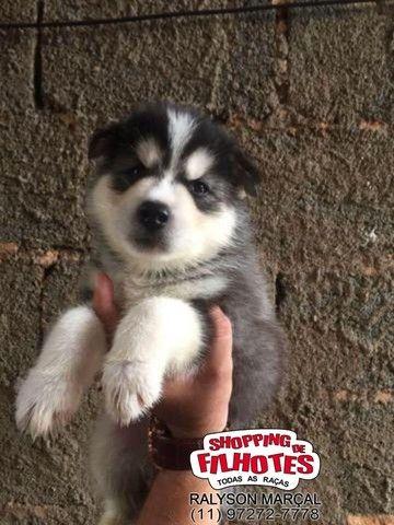Husky Siberiano venha conhecer toda nossa estrutura, suportes e garantias - Foto 2