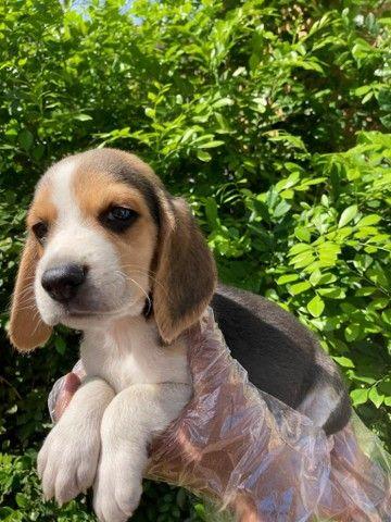 Beagle Mine - Filhotes de Beagle em Oferta