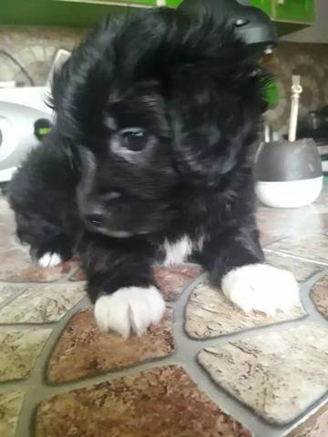 Poodle x maltês - Foto 4