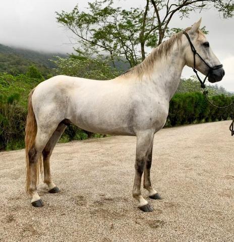 Mangalarga Marchador puro! Cavalo de presença, grande! Ideal para cavalgadas ou charrete! - Foto 2