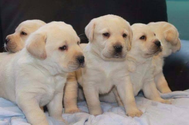 Cachorro labrador - Foto 2