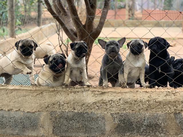 Pug filhotes disponíveis - Foto 6