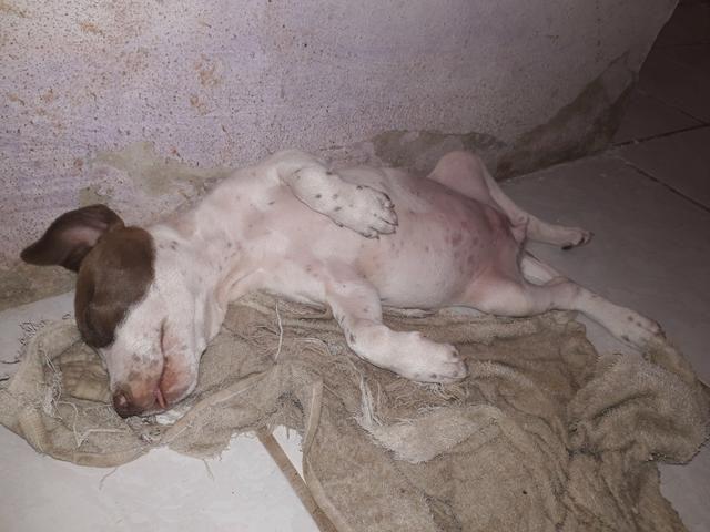 Vendo essa linda pitbull ela tem 2 meses já interessados chama no zap ou ligar *
