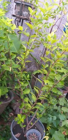 Vendo Três Mudas de acerola já frutificando - Foto 2