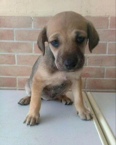 Labrador x dog  - Foto 5