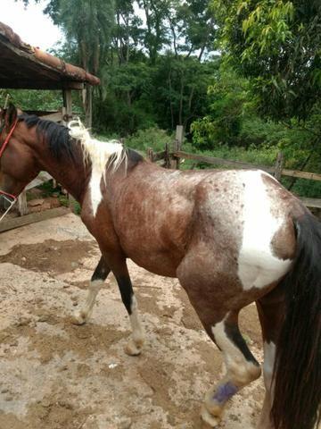 Cavalo pampa - Foto 2