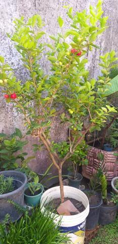 Vendo Três Mudas de acerola já frutificando