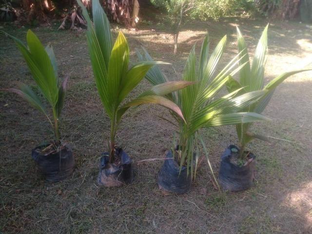 Mudas coqueiro Anão - Foto 3