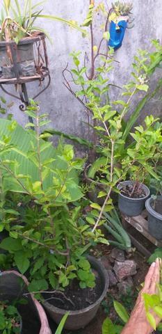 Vendo Três Mudas de acerola já frutificando - Foto 3
