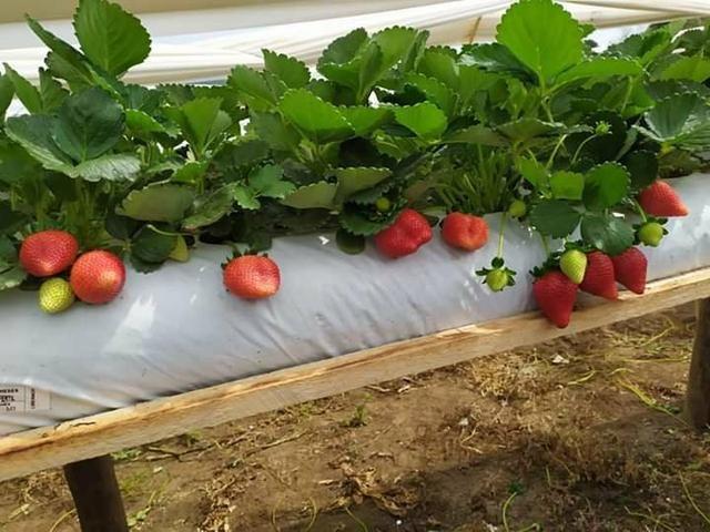 VENDO mudas de morangos importados - Foto 2