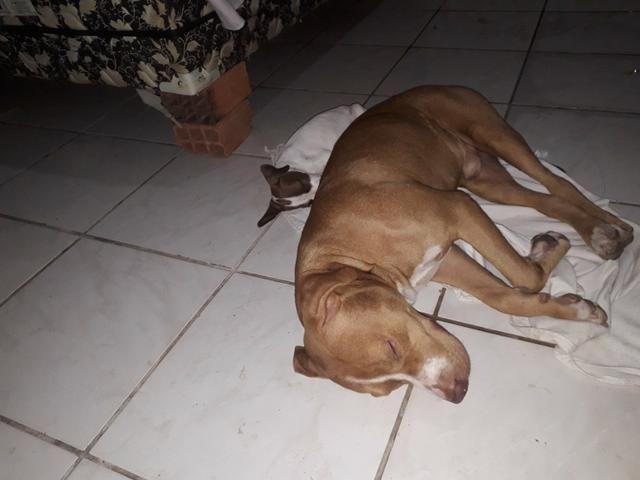 Vendo essa linda pitbull ela tem 2 meses já interessados chama no zap ou ligar * - Foto 5