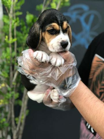 Beagle 13 polegadas, bicolor e tricolor, com suporte veterinário gratuito - Foto 4