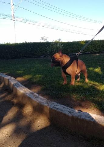 Bulldog Francês : Disponível para cobertura - Foto 3