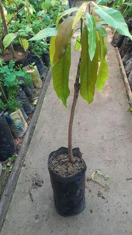 Últimas unidades de abacate enxertado - Foto 5