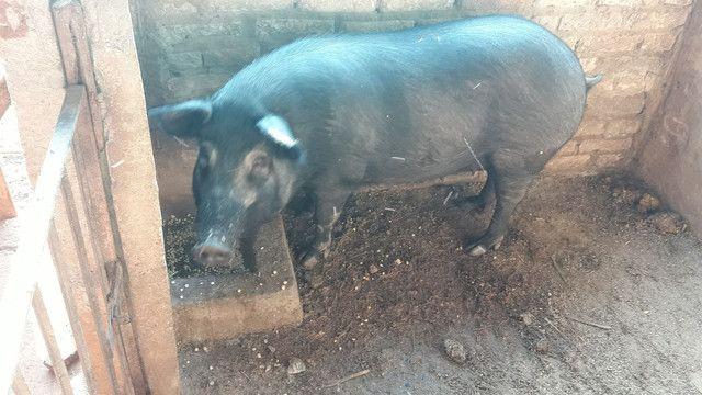 Porcos reprodutores  - Foto 6