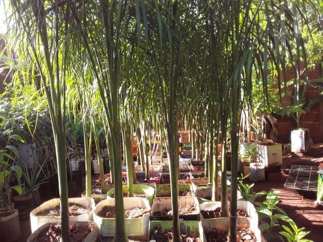 Vendas de mudas e plantas para jardim e chacaras - Foto 4