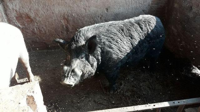 Porcos reprodutores  - Foto 2