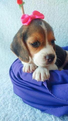 Beagle Fêmea Com Garantia